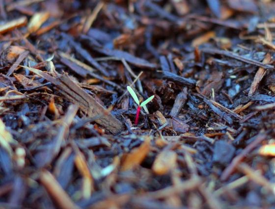 Beet Seedling